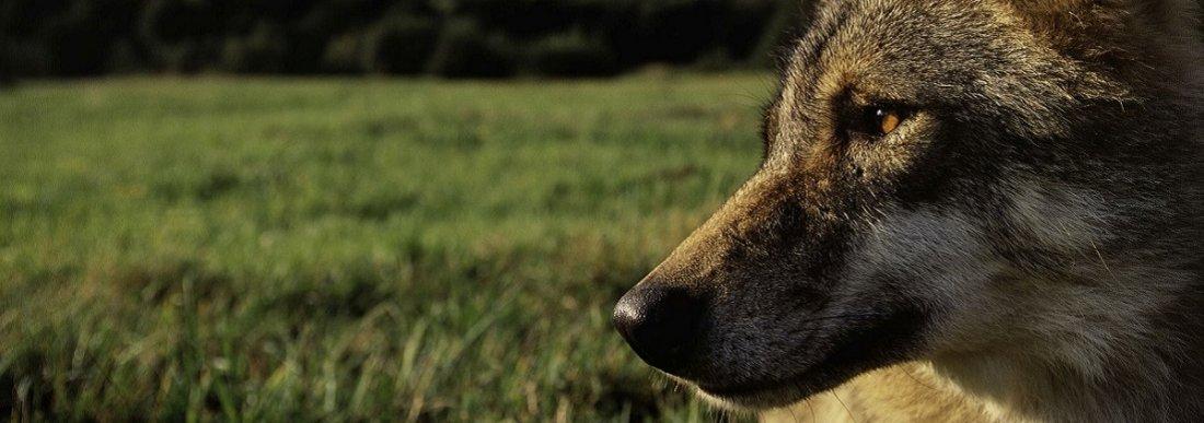 Wolf-SWD-002904_mala_Steffan_Widstrand_ORACENA_slajdr.jpg