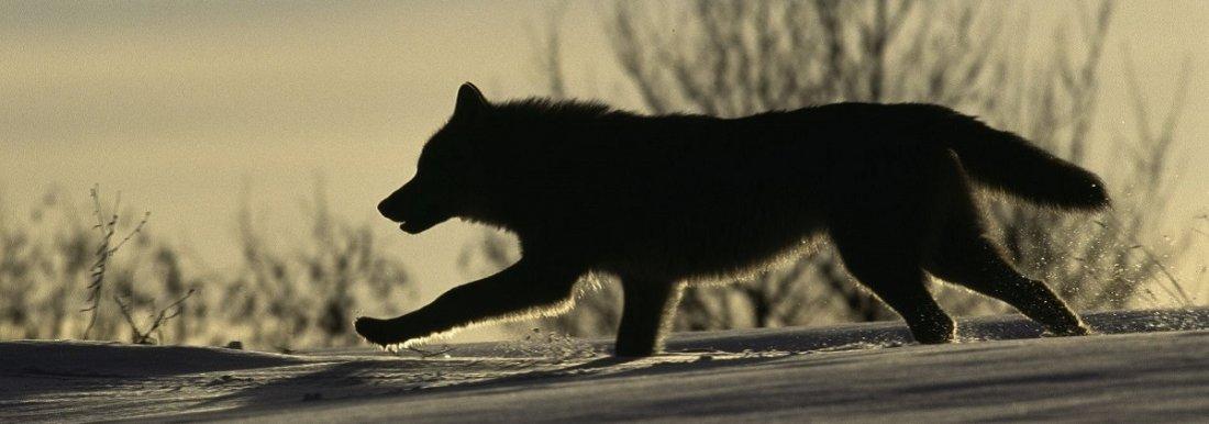 Wolf-SWD-009029_mala_Steffan_Widstrand_slajdr.jpg