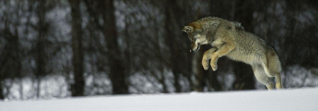 Wolf-swd-010103_mala_Steffan_Widstrand_slajdr1.jpg