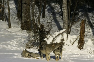 Wolf-SWD-011648_mala_Steffan_Widstrand.jpg