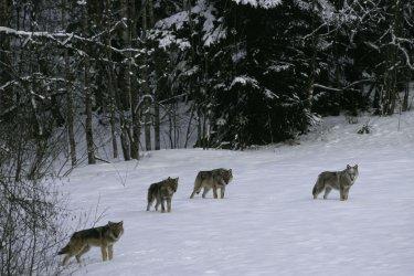 Wolf-SWD-011650_mala_Steffan_Widstrand.jpg